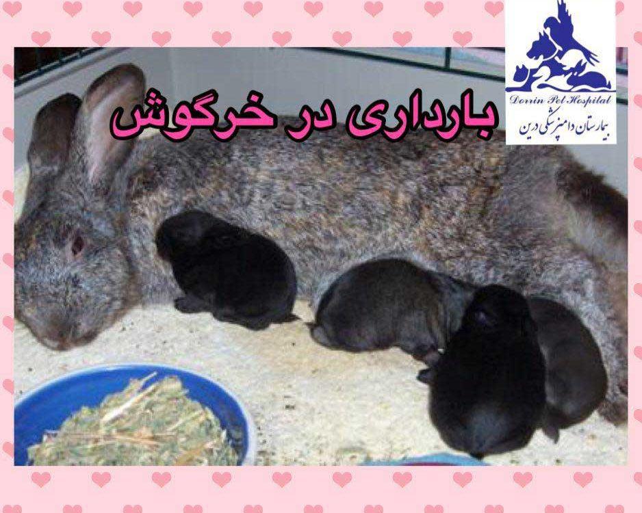 علائم تشخیص بارداری خرگوش ماده