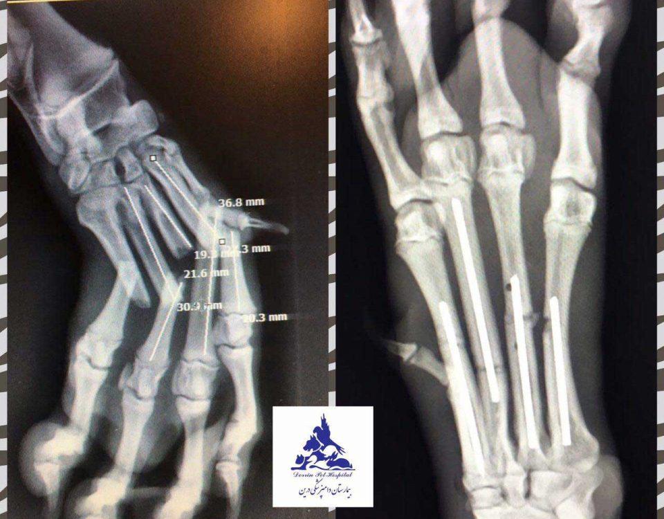 درمان شکستگی کارپ حیوان در دامپزشکی