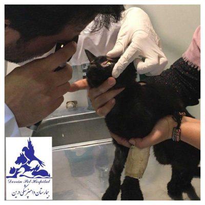 بیمارستان دامپزشکی - تصادف گربه