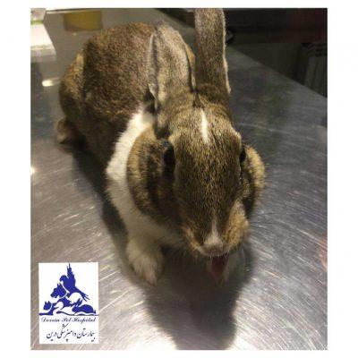 بیمارستان دامپزشکی - درمان درد پای خرگوش